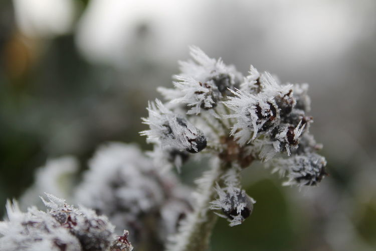 Budapest Cold Weather December Frost Hoarfrost Hungary Beauty In Nature Close-up Cold Cold Temperature Day Flower Focus On Foreground Fragility Freshness Hedera Hedera Helix Nature No People Outdoors Rime Snow Tranquility Winter