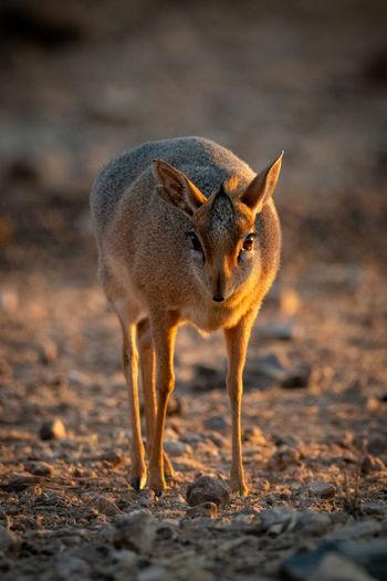 Kirk dik-dik stands on gravel at dawn