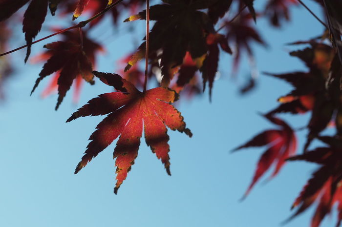 EyeEm Selects Autumn Leaves Maple Leaf Red Leaves Autumn Maple Tree Red Change Tree Plant Leaf Close-up Japan Red And Black Red And Black Colour