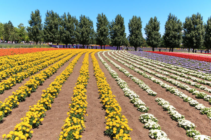 Furano, Japan - July 8,2015: flowers of the Tomita farm in Hokkaido with some tourists on background. Agriculture ASIA Beauty In Nature Biei Blue Field Flower Flowers Furano Growth Hokkaido In A Row Japan Landscape Nature Otaru Outdoors Pattern Scenics Spring Tranquil Scene Tranquility Travel Tree Yellow