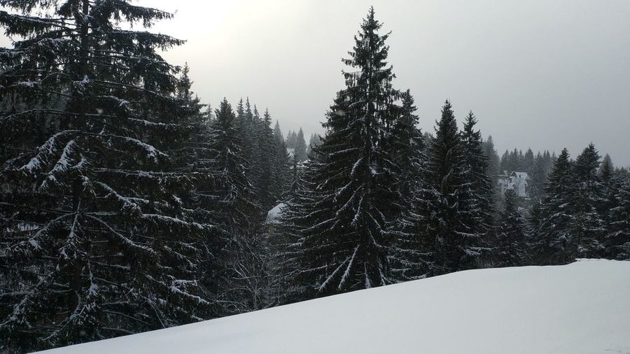 Tree Snow Cold Temperature Winter Tree Area Pine Tree Pinaceae Mountain Outdoor Pursuit Winter Sport WoodLand Evergreen Tree Snowcapped Mountain Snowing Frozen