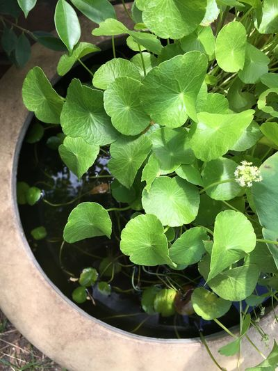 asiatic pennywort in the water Anti Asiatic  Backgrounds Centella Drink Food Green Healthy Eating Herb Herbal Holistic Leaf Medicare Nature Organic Pennywort Plant Pot Tonic Water