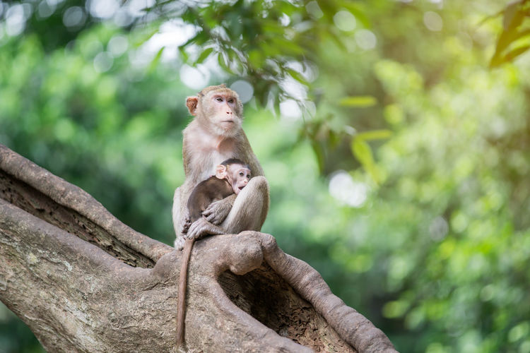 Monkey with infant sitting on tree in forest