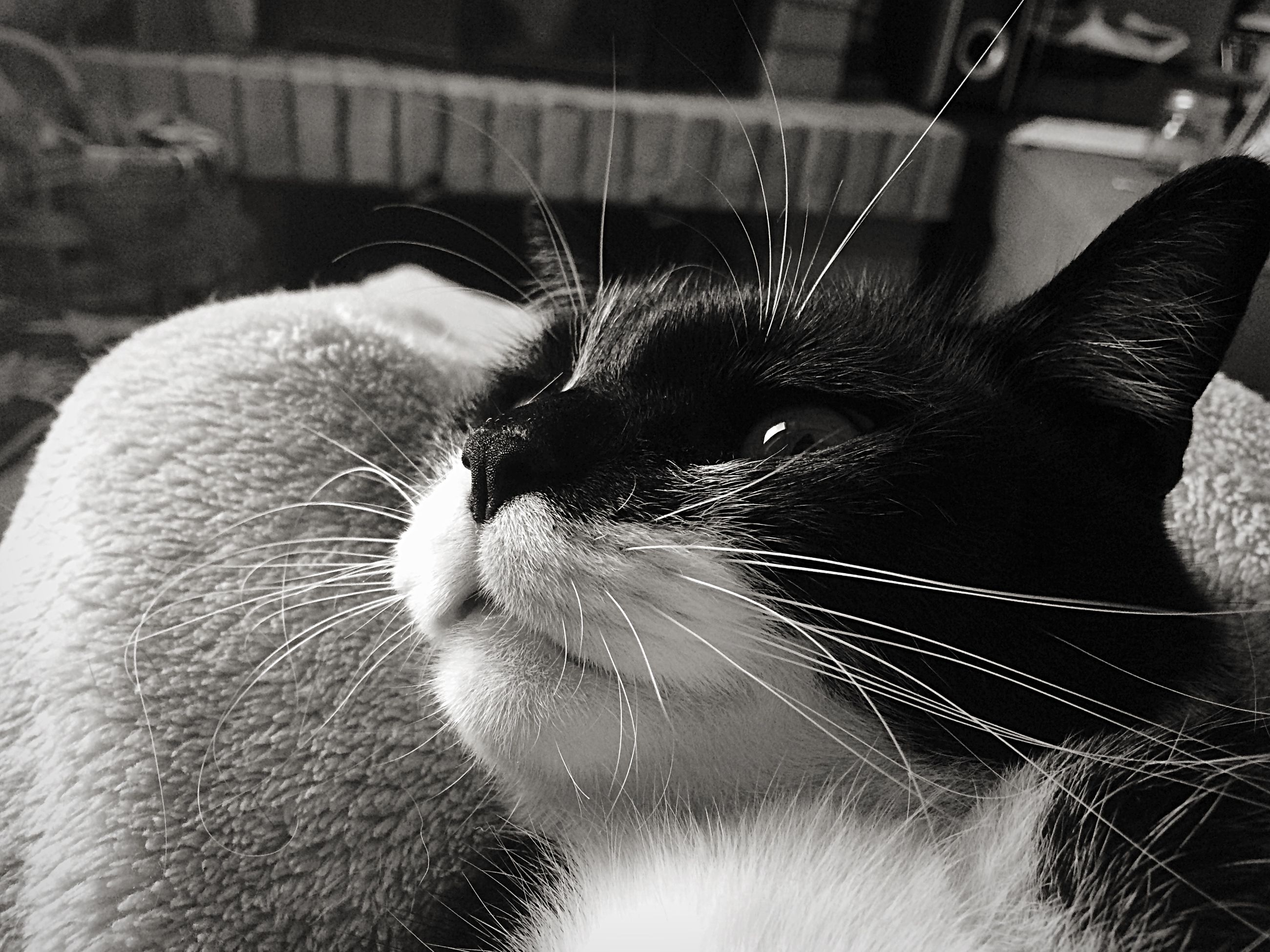 domestic animals, one animal, pets, animal themes, domestic cat, mammal, indoors, cat, close-up, whisker, feline, animal head, animal body part, part of, relaxation, focus on foreground, animal hair, no people, cropped, animal eye