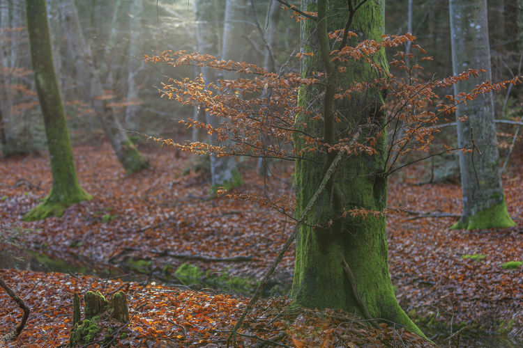 Sweden Autumn Beauty In Nature Beech Beech Forest Beech Tree Branch Change Close-up Day Forest Growth Leaf Nature No People Outdoors Scenics Tranquil Scene Tranquility Tree Tree Trunk Öland