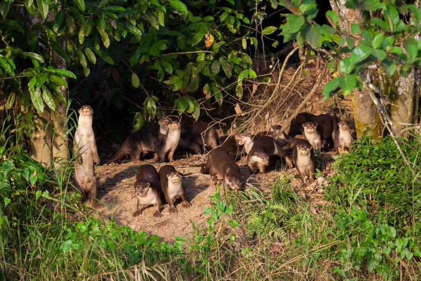 Otters Smooth-coated Otter Lutrogale Perspicillata Kinabatangan River Borneo Sabah Borneo Animals In The Wild Malaysia EyeEmNewHere Canon Eos5d