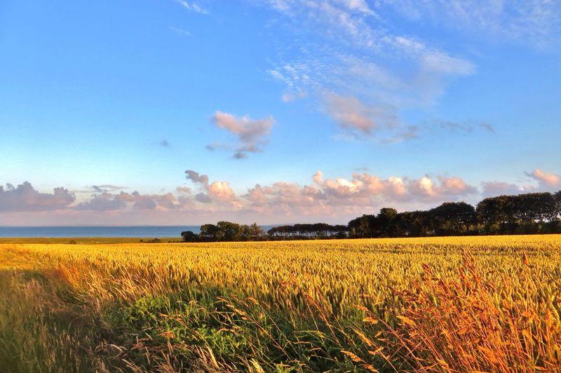 Golden fields. Enjoying Nature Denmark Tadaa Community EyeEm