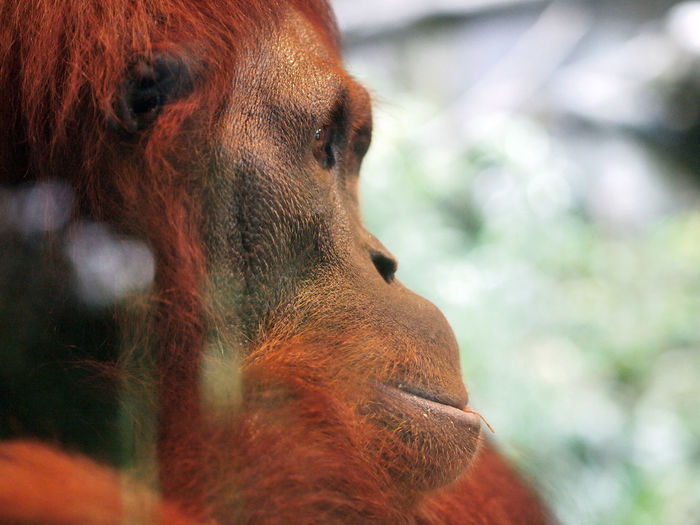 Orangutan, female face portrait, great ape native to indonesia rainforest of borneo and sumatra.