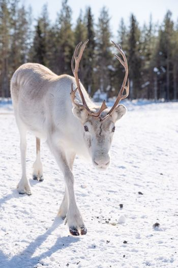 Portrait of deer standing on snow covered field