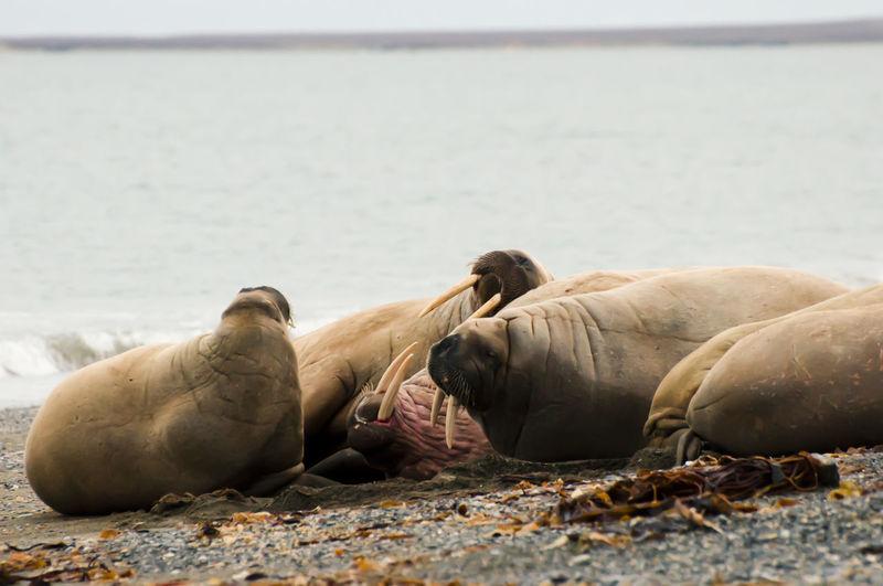 Walrus Family - Svalbard Family Norway Spitsbergen Animals In The Wild Aquatic Mammal Arctic Mammal Polar  Sea Lion Svalbard  Walrus