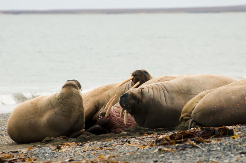 Walrus Family - Svalbard Family Norway Spitsbergen Animals In The Wild Aquatic Mammal Arctic Mammal Polar  Sea Lion Svalbard  Walrus