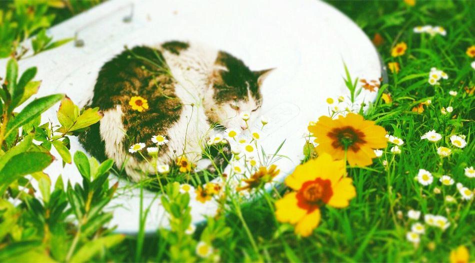 🐈💤💤Cats Cat Korean Shorthair Nap