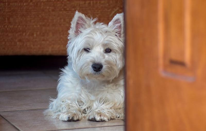 Portrait Of West Highland White Terrier Resting On Floor