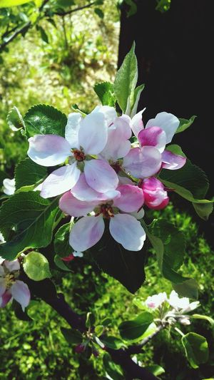 Spring is here. Flower Nature Beauty In Nature Plant Leaf No People Growth Day Green Color Pink Color Petal Outdoors Fragility Close-up Freshness Flower Head Tree