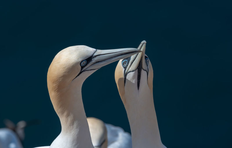 Close-up of gannets greeting standing outdoors