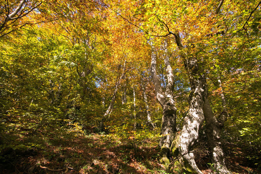 Autumn colors in the park of Monte Cucco, Umbria, Italy Autumn colors Tree Autumn Autumn Collection Beauty In Nature Beech Beech Forest Branch Foliage Forest Growth Land Landscape Leaf Leaves Monte Cucco Mountain Nature No People Plant Plant Part Scenics - Nature Tree Tree Trunk WoodLand