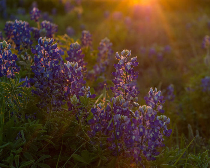 Beauty In Nature Bluebonnet Bluebonnet Field Bluebonnets Close-up Day Field Flare Flower Flower Head Fragility Freshness Growth Lavender Nature No People Outdoors Plant Purple Sunset Sunsets