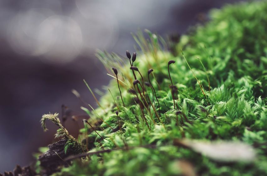 Forest of moss... Moss Nature Selective Focus Close-up Beauty In Nature Green EyeEm Nature Lover Eye4photography  Nature Macro Photography Macro Nature Klaquax@home