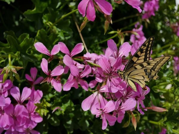 🌸 Butterfly Pink Flower Still Life Macro Nature Yellow Butterfly Purple Flowers One Animal Insect Macro  Butterfly On Flower Black - Yellow Butterfly Perfektion In Nature Blooming Butterflies Nature Beauty Blossoms  Harmony Spread Wings Animal Themes Animal Wildlife Insect Butterfly And Flowers Day Outdoor Colourful