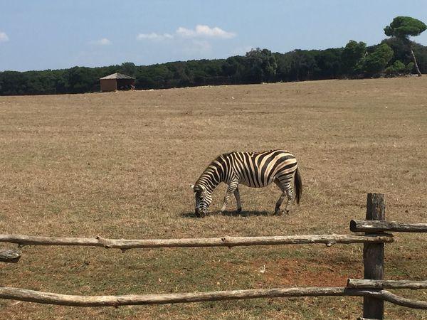 Zebra Zebra Animal Wildlife Animals In The Wild Grass Nature Plant Tree Zebra