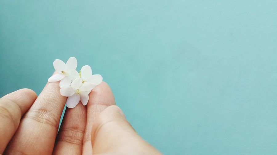 Close-up of hand holding white flowers against turquoise background