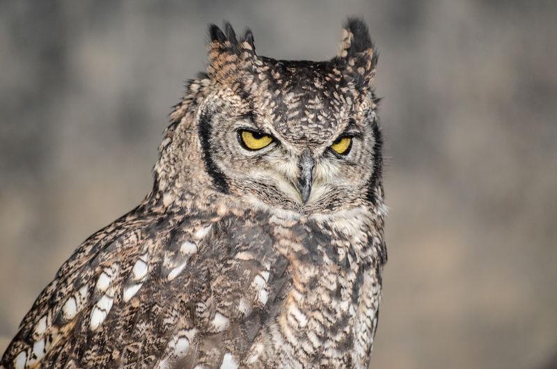 Animal Wildlife Animals In The Wild Bird Bird Of Prey Longeared Nature One Animal Outdoors Owl