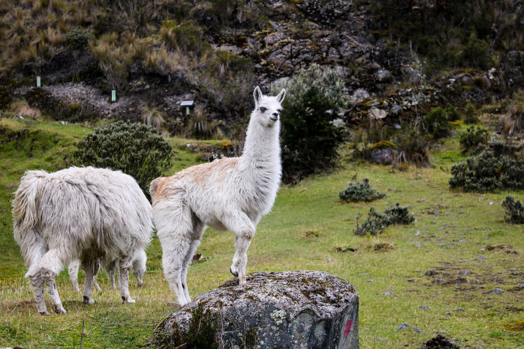 Llama on a Rock