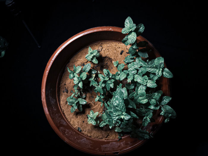 Photography a basin full of mint leaves