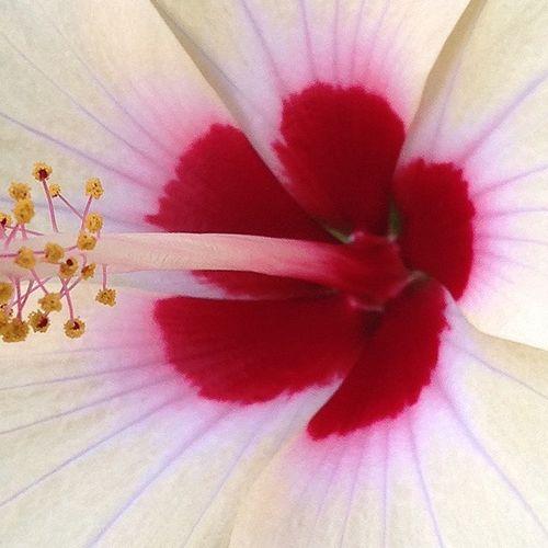 Hibiscus ハイビスカス
