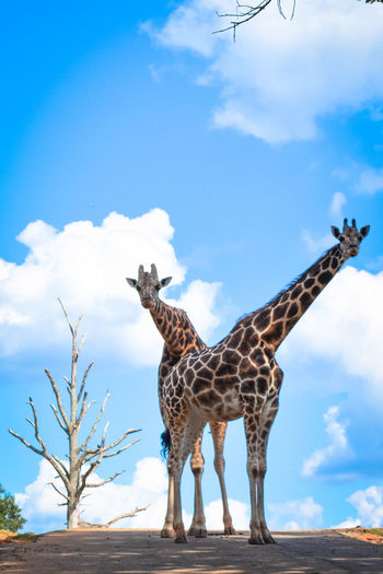 Low angle view of giraffe standing against sky