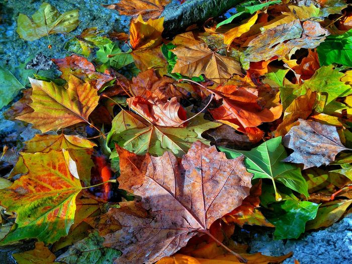 Close-up of dry maple leaves fallen in autumn