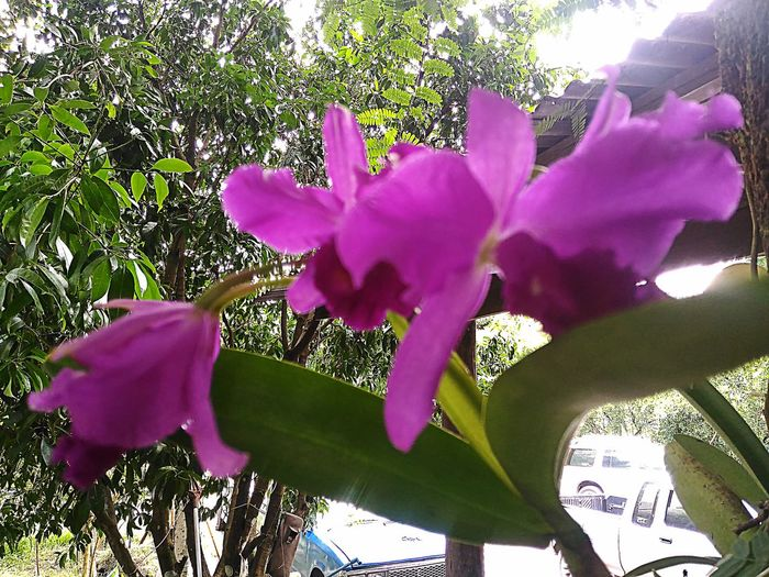 Orchids the first year of flowering Beautiful Beautiful Orchid BEAUTIFUL ORCHIDS Bepleasant Cute Flower Orchid Orchidflower Orchidflowers Orchids Purple Orchid Purpleorchids กล้วยไม้
