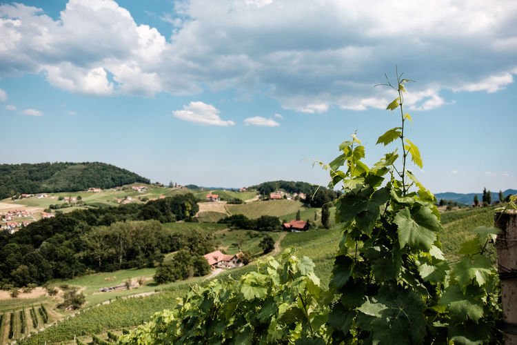 Austria / South Styrian Wine Road (Südsteirische Weinstrasse) Austria Farmland Grapevine Green Hills Vineyards  Agriculture Beauty In Nature Clouds Farmhouses Grapes Growth Landscape Leaves Lush Nature No People Outdoors Rural Scene Sky Summer Tranquility Vineyard Wine Winetasting