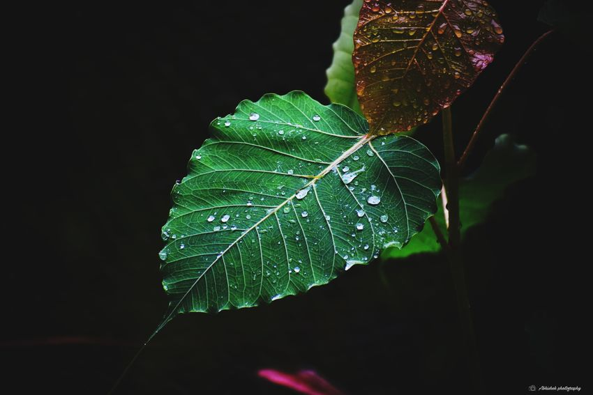 Rainy Season Clicked On Nikon D3300 Eyem Filters Leaves🌿 Black Background Close-up Green Color Leaf Vein Natural Pattern Drop Plant Life Water Drop Growing