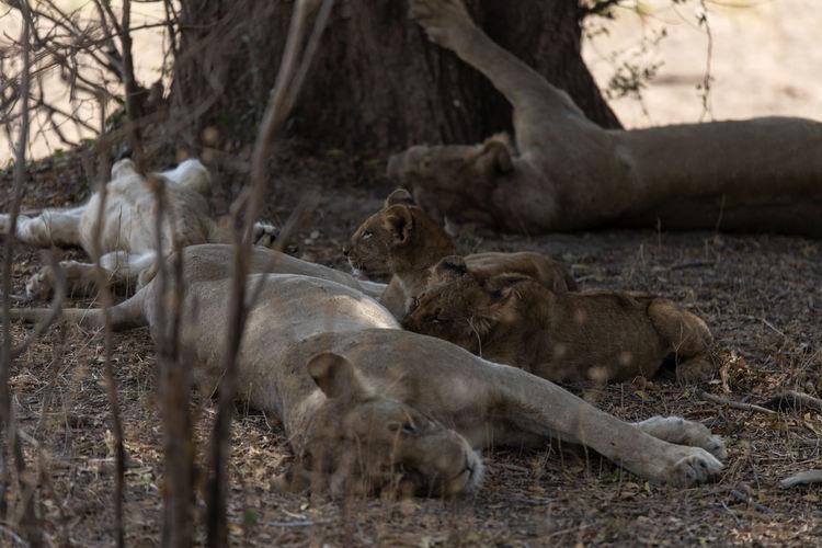 Sleeping lion in a field