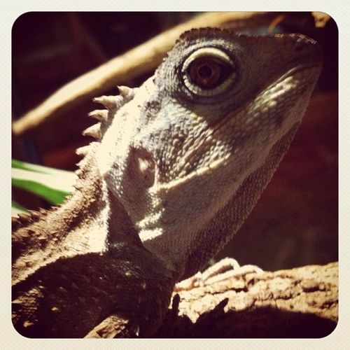 Reptile Dragon Rainforestdragon Lizard Canon