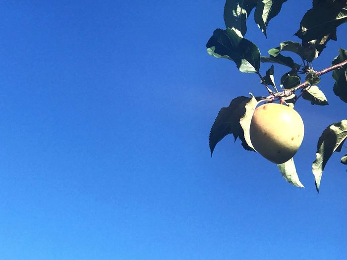 Low angle view of fruits hanging against clear blue sky