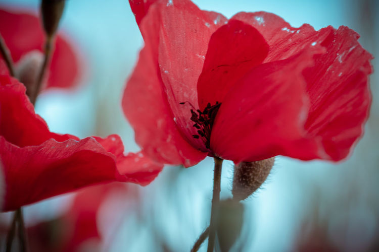 Close-up of red poppy
