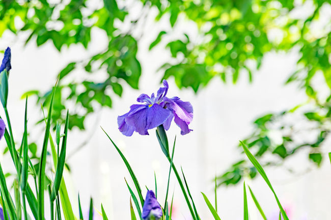 Beauty In Nature Blooming Close-up Day Flower Flower Head Focus On Foreground Fragility Freshness Green Color Growth Iris Komorebi Leaf Nature No People Outdoors Periwinkle Petal Plant Purple 花菖蒲