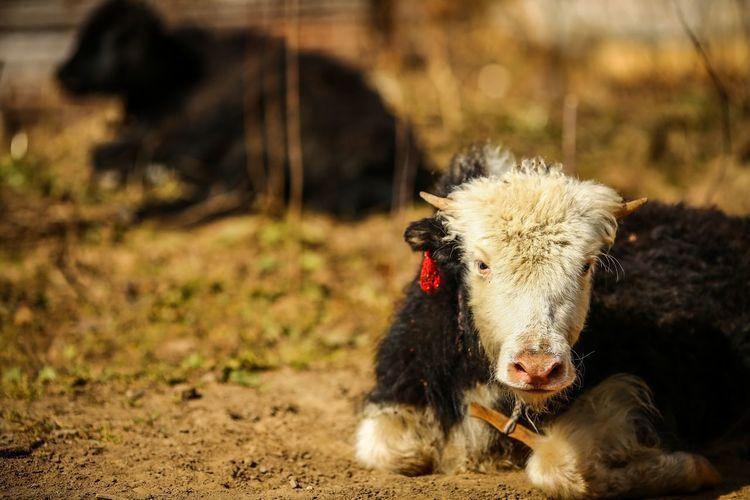 Close-up highland cattle