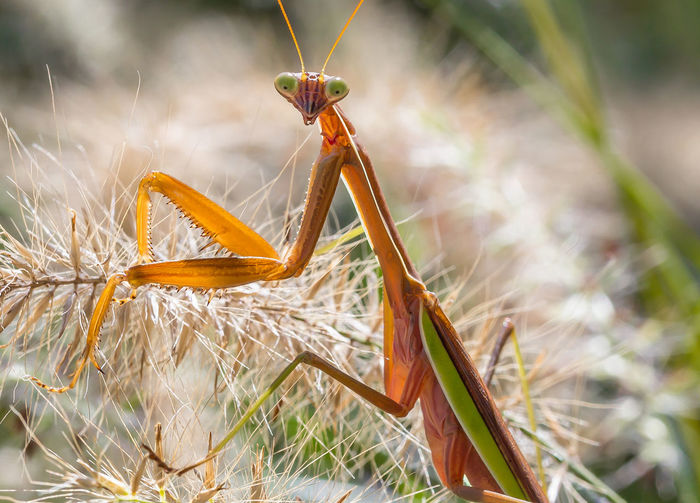 Macro Photography Summertime Close-up Grass Insect Macro Nature Nature No People Outdoors Praying Mantis