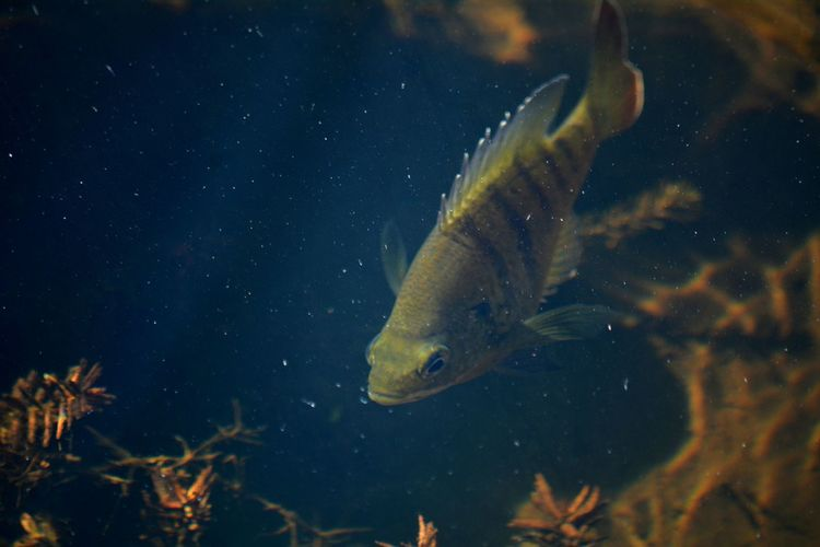 Mayan cichlid swimming in florida water