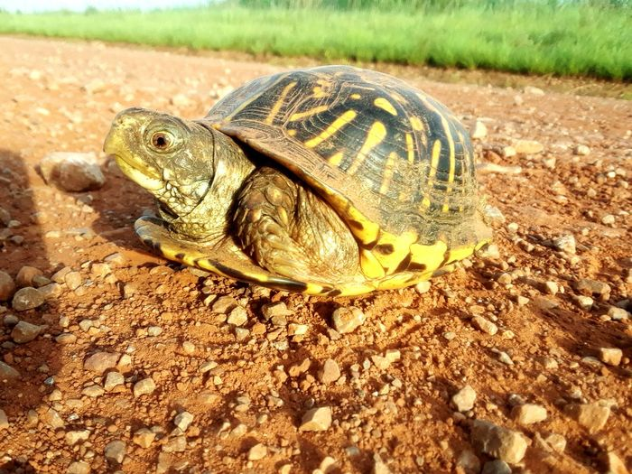 Animals In The Wild Animal Themes One Animal Day Reptile Animal Wildlife Nature No People Outdoors Close-up Turtles Turtle Turtles In The Sun