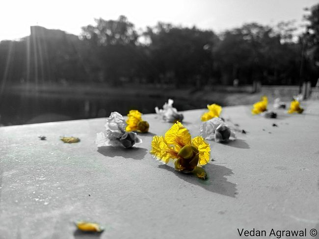 Flowers bloom and then they fall just like a man's problems and emotions ❤ Sky Flower Nature Yellow Beauty In Nature No People Outdoors Water Landscape Flower Head Freshness Tranquility Tree EyeEmNewHere Scenics Close-up Mobileshot G4plus Day Fragility Art Is Everywhere