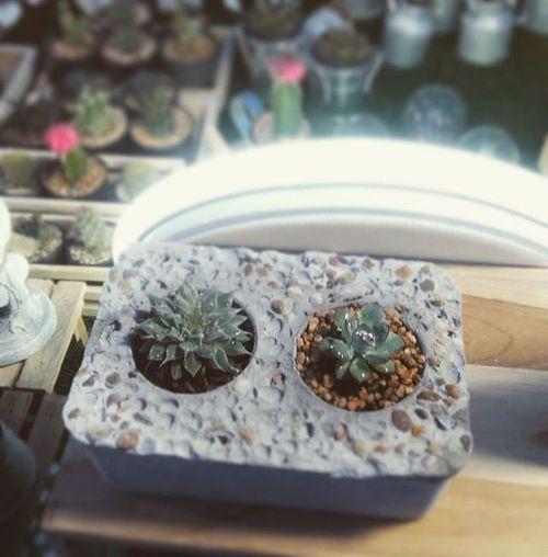 กระถางปูนเปลือยทรงใหม่ ปลูกได้2ต้นไว้เป็นเพื่อนกัน กระถางปูนเปลือย กระบองเพชร กระถางกระบองเพชร กระถาง Loft DIY Dib_te Design Gardener Gardenia Gardens DIY Cactusthailand Cactusmagazine Cactus Cacti Cactusclub Cactus Cactus
