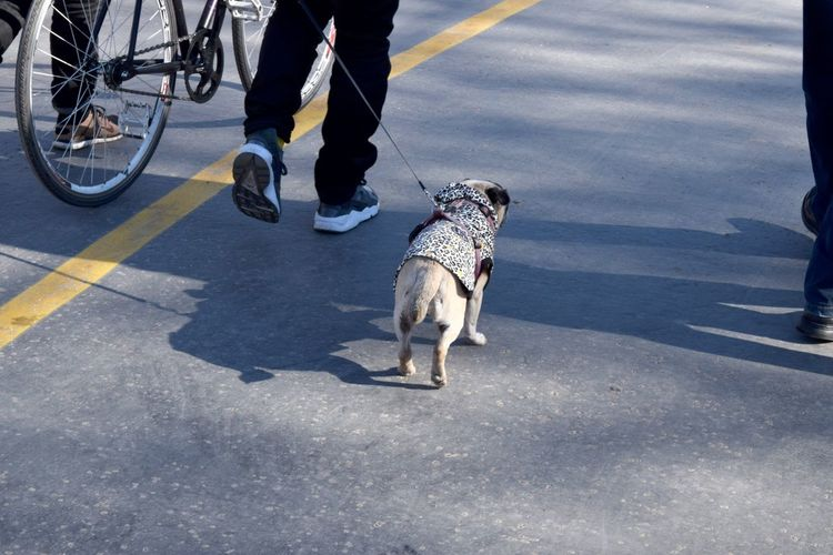 Bicycle Casual Clothing Day Dog Leash Motion Outdoors Pug Pug Life  Puppy Road Walking