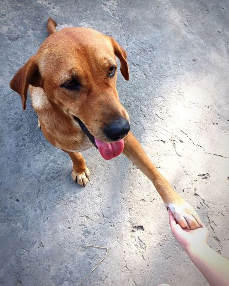 Dog Domestic Animals Pets Animal Themes One Animal Mammal Outdoors Day No People Smiling Dog Brown Dog Thai Dog Pet Shakehand Shake Hands Kindly Long Goodbye