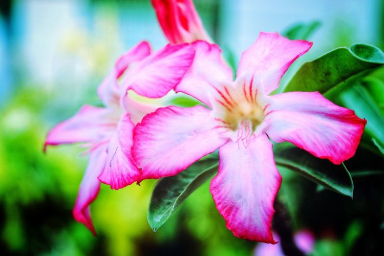 Day Lily Pink