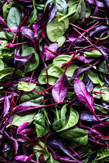 Spinach Baby Spinach Bull's Blood Vegetable Leaves Food Flatlay Plant Part Leaf Full Frame Backgrounds Freshness No People Nature High Angle View Purple Beauty In Nature Close-up Healthy Eating Green Color Plant Abundance Food And Drink