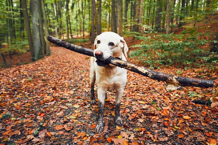 Muddy dog in autumn nature. Dirty labrador retriever with stick in mouth walking on the footpath in the forest. Autumn Exploring Footpath Hiking Path Walk Adventure Animal Themes Branch Dirt Dirty Dog Forest Holding Journey Leaf Mischievous Mud Muddy Nature Pets Playful Playing Stick Tree